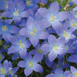 Campanula 'Dwarf Blue' (Garden Ready)