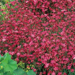 Dianthus 'Deltoides Red' (Garden Ready)