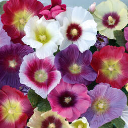 Hollyhock 'Halo Mixed' (Garden Ready)