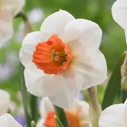 Daffodil 'Brooke Ager'
