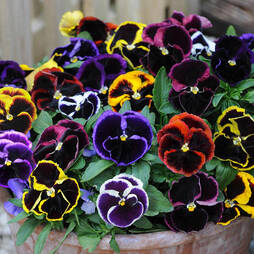 Pansy 'Eclipse'