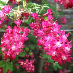 Ribes sanguineum 'Amour'