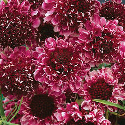 Scabious 'Beaujolais Bonnets' (Garden Ready)