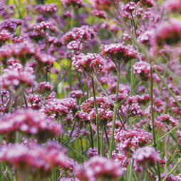 Verbena bonariensis 'Buenos Aires' (Garden Ready)