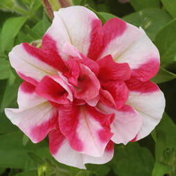 Petunia 'Cherry Ripple' (Tumbelina Series)