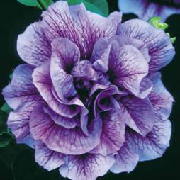 Petunia 'Priscilla'™ (Tumbelina Series)