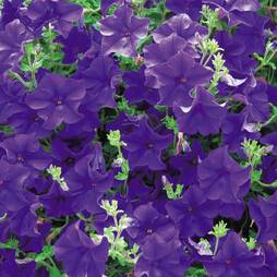 Petunia 'Surfinia® Blue' (Large Plant)