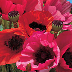 Poppy 'Oriental Collection' (Garden Ready)