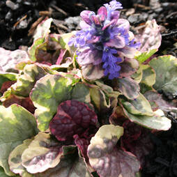 Ajuga reptans 'Party Colour'