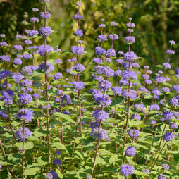 Caryopteris x clandonensis 'Kew Blue'