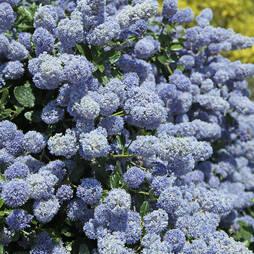 Ceanothus x delileanus 'Gloire de Versailles' (Large Plant)