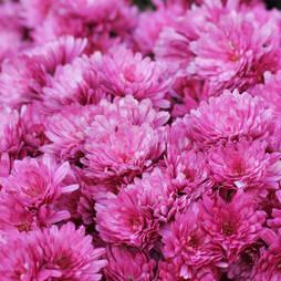 Chrysanthemum x hortorum 'Anastasia'