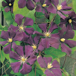 Clematis ''toile Violette'