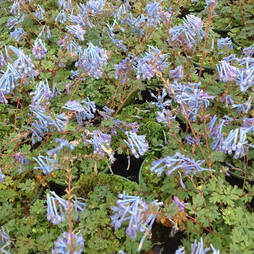 Corydalis flexuosa 'Purple Leaf'
