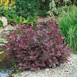 Cotinus coggygria 'Royal Purple' (Large Plant)