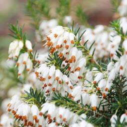 Erica carnea f. alba 'Golden Starlet'