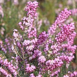 Erica carnea 'Pink Spangels'