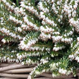 Erica carnea f. alba 'Snow Queen'
