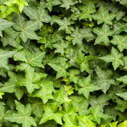 Hedera hibernica (Large Plant)