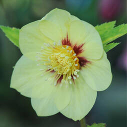 Hellebore 'Single Gold Red'