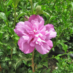 Hibiscus syriacus 'Purple Ruffles'