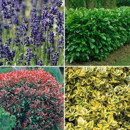 Nurserymans Choice Large Plants (3-4 litre)