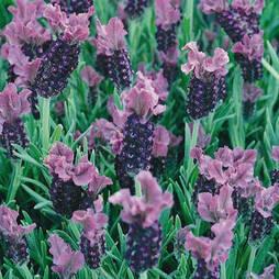 Lavender 'Fathead'