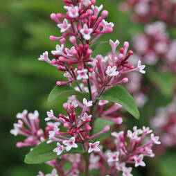 Lilac 'Superba'