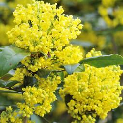 Mahonia aquifolium (Large Plant)