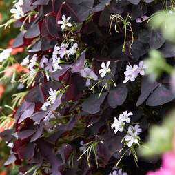 Oxalis triangularis 'Burgundy Wine'