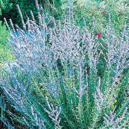 Perovskia 'Blue Spire' (Large Plant)