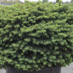 Picea abies 'Little Gem' (Large Plant)