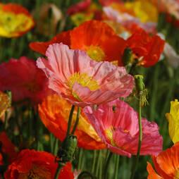 Poppy 'Gartenzwerg'