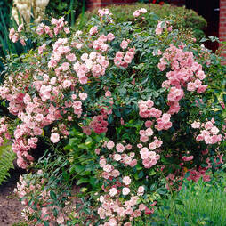 Rose 'The Fairy' (Polyantha)