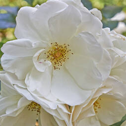 Rose rugosa 'Alba' (Species Shrub Rose)