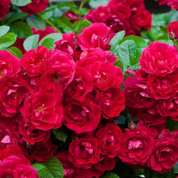 Rose 'Red Fairy' (Polyantha)