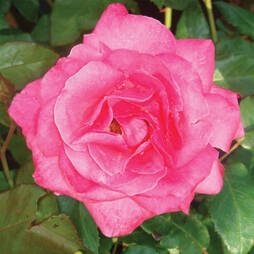 Rose 'Easy Elegance Grandma's Blessing' (Shrub Rose)