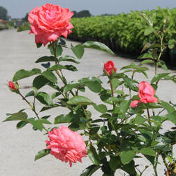 Rose 'Easy Elegance Salmon Impressionist' (Shrub Rose)