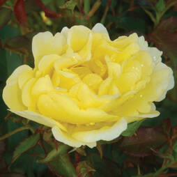 Rose 'Easy Elegance Yellow Submarine' (Shrub Rose)