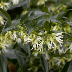 Sarcococca confusa (Large Plant)