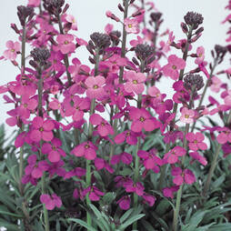 Wallflower 'Bowles's Mauve'