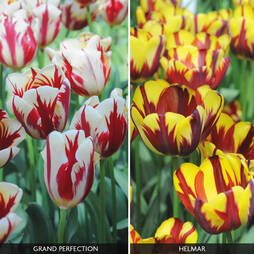 Tulip 'Flaming Duo'