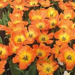 Tulip 'Big Sun'