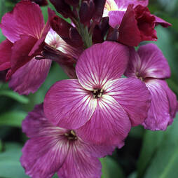Wallflower 'Sunset Purple'