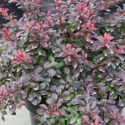 Berberis thunbergii f. atropurpurea 'Atropurpurea Nana'