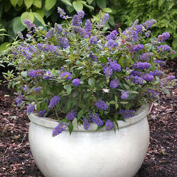 Buddleja 'Blue Chip' (Large Plant)