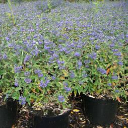 Caryopteris 'Petit Blue'