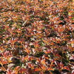Physocarpus opulifolius 'Amber Jubilee'