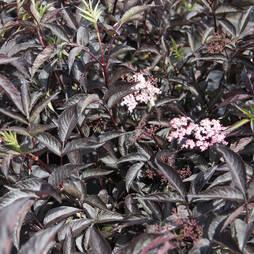 Sambucus nigra f. porphyrophylla 'Black Lace'