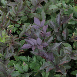 Sambucus nigra f. porphyrophylla 'Thundercloud'